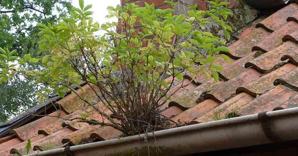 plant growing in the gutter of the roof