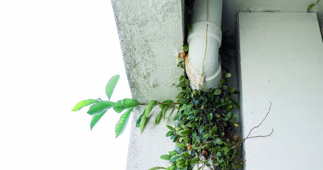 plants growing from under the downspout