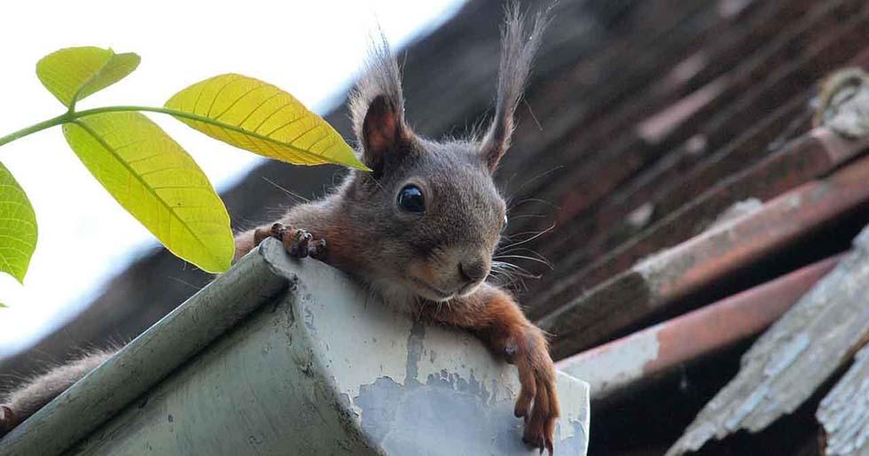 squirrel on gutter