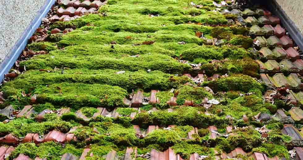 thick moss growing on roof