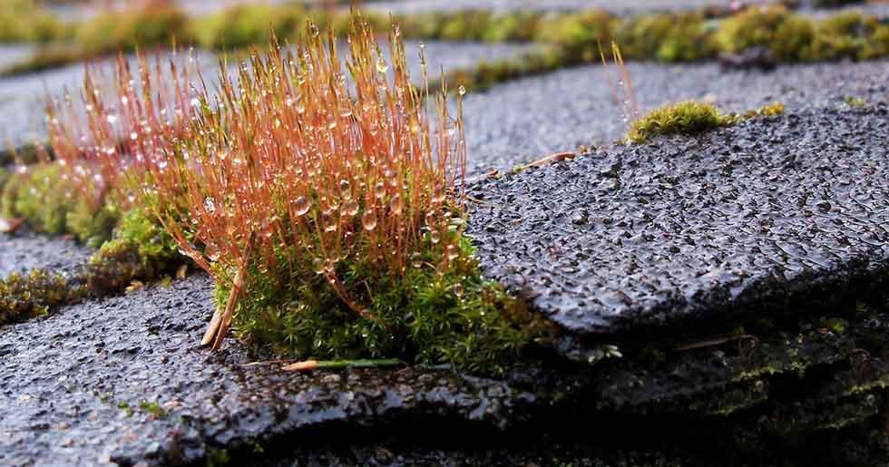 beautiful moss on roof shingles